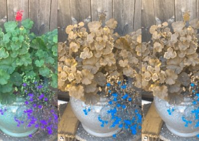 Chomatic Vision Simulator shows the same plant as seen with full color vision (C), deuteranopia (D) or protanopia (P)